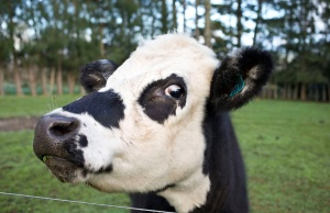 A cow is seen near the fence of a pastoral farm near Auckland