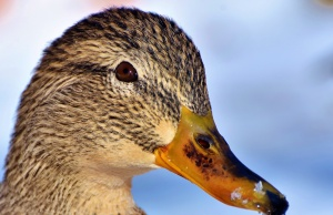 Bulgaria reports bird flu outbreak at duck farm