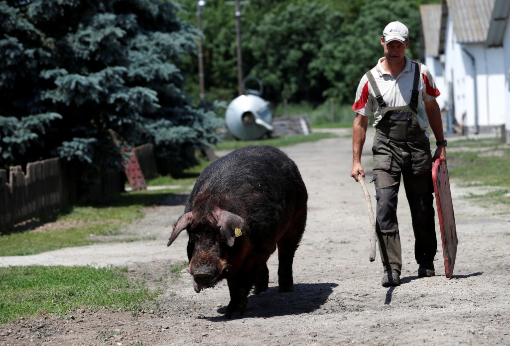 A farm worker walks with a breeding boar on a pig farm in Rabacsecseny