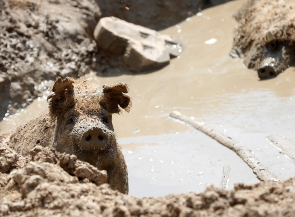 A Mangalica pig is seen in the mud on a pig farm in Zebegeny