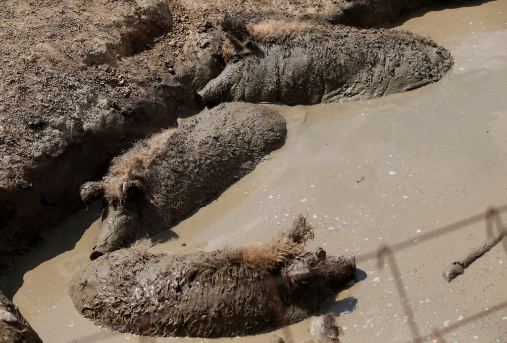 Mangalica pigs are seen in the mud on a pig farm in Zebegeny
