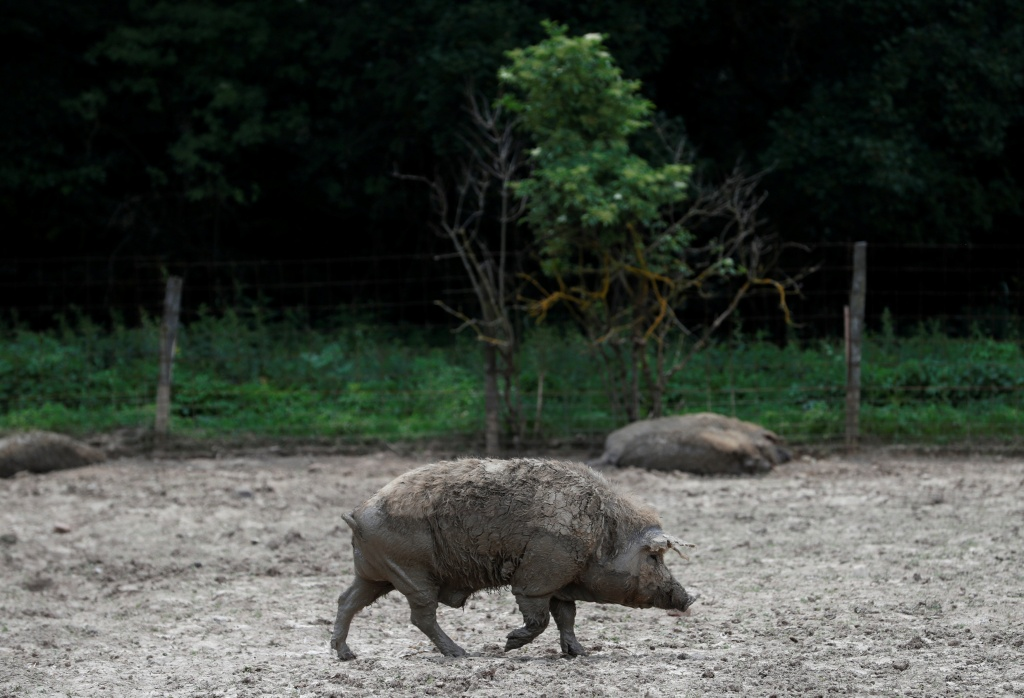 A Mangalica pig walks on a pig farm in Zebegeny