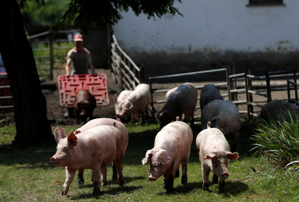 Pigs are seen on a pig farm in Rabacsecseny