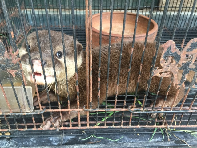 Small-clawed otter is pictured inside a cage at a wildlife pet market in Yogjakarta