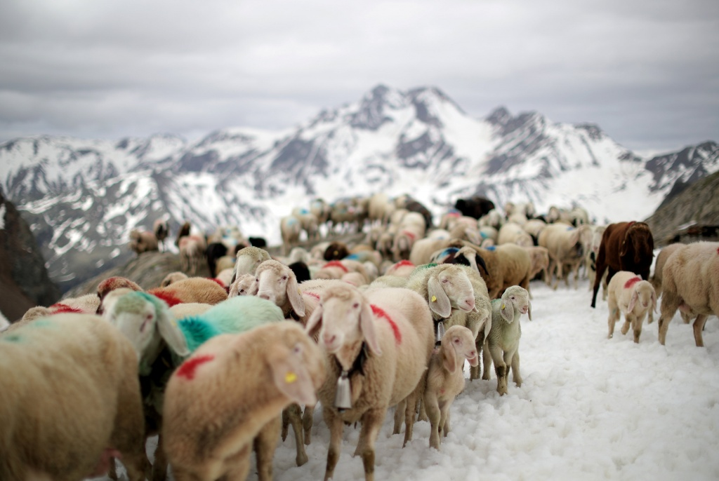 "Sheep cross the alpine pass ""Hochjoch"" at 2,856 meters above sea level, in the autonomous region of South Tyrol"