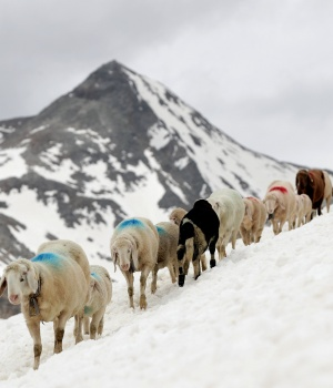 Sheep make their way in front of Hochjochferner glacier in the region of Tyrol