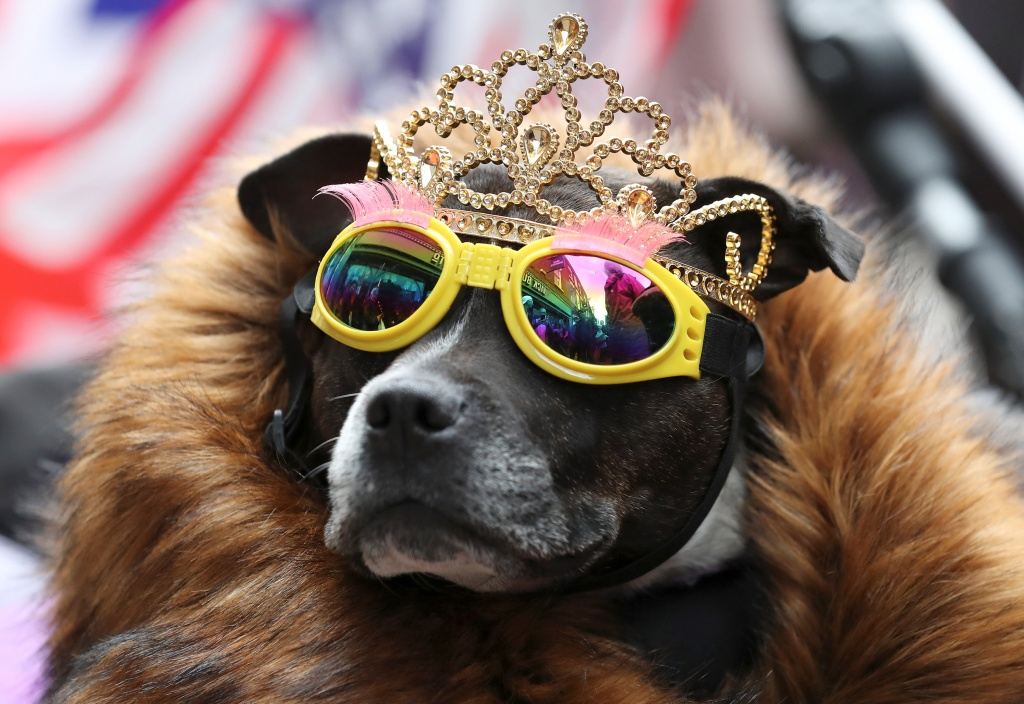 A dog wears a tiara and sunglasses ahead of Britain's Queen Elizabeth and Meghan, the Duchess of Sussex, visit to Chester
