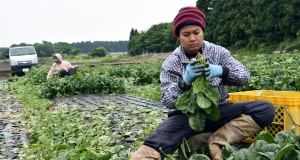 Workers from Thailand work at Green Leaf farm, in Showa Village