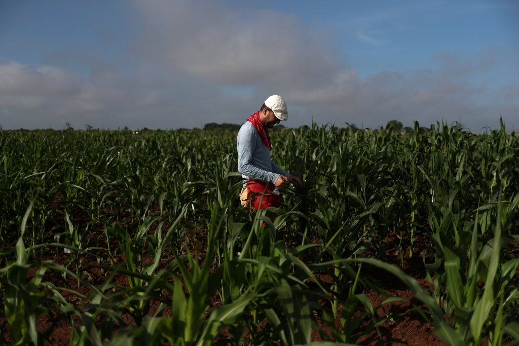 Man checks plants in a corn research field in College Station, Texas