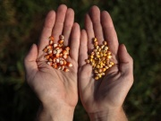 Man displays yellow corn seeds in College Station, Texas