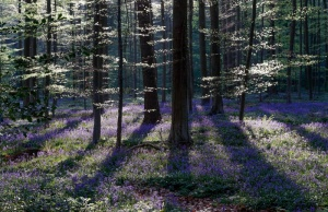 Wild bluebells form a carpet in the Hallerbos near the Belgian city of Halle
