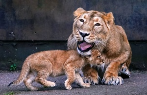 A female Asian lion is seen next to a cubs in the Planckendael zoo in Mechelen
