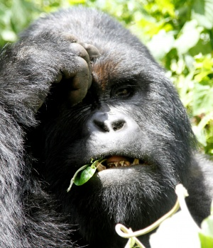 An endangered silverback mountain gorilla from the Nyakamwe-Bihango family feeds within the forest in Virunga national park