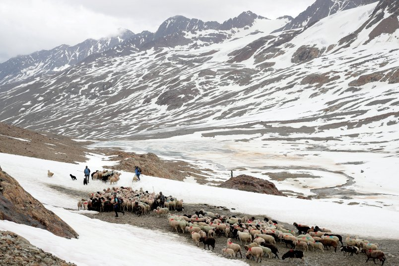 "Sheep make their way down the alpine pass ""Hochjoch"" after crossing the border to Austria"