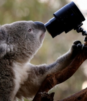 An Australian Koala looks at a camera as it sits atop a branch in its enclosure at Wild Life Sydney Zoo