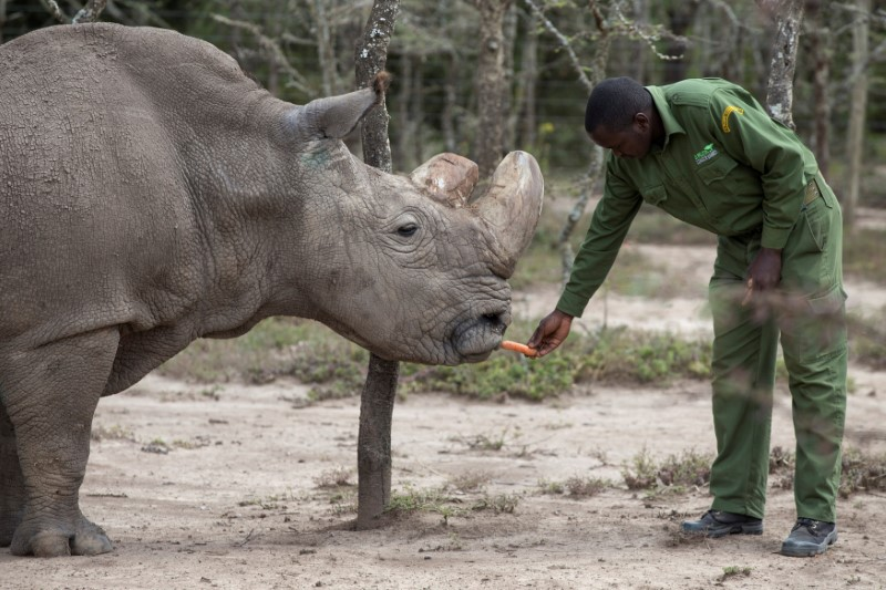 Sudan, the last male northern white rhino, is fed by a warden at the Ol Pejeta Conservancy in Laikipia national park