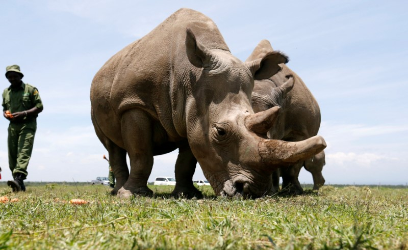 The last two northern white rhino females graze in Kenya's Laikipia National Park