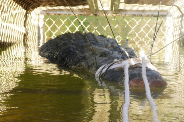 A near 5-metre crocodile captured in Taylor's Park in the Northern Territory