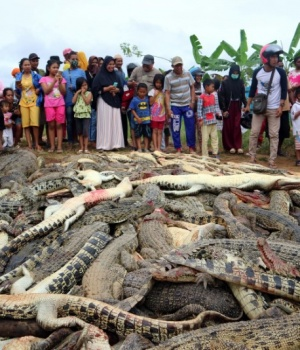 Local residents look at the carcasses of hundreds of crocodiles from a farm after they were killed by angry locals following the death of a man who was killed in a crocodile attack in Sorong regenc