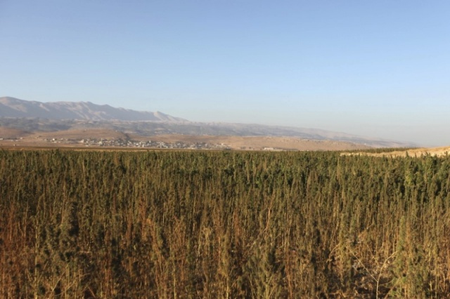 Cannabis plants grow in a field in the Bekaa valley, Lebanon October 4, 2015.