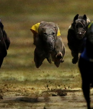 Greyhounds take part in a race at Yat Yuen Canidrome in Macau