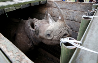 A female black Rhino stands in a box before being transported during rhino translocation exercise In the Nairobi National Park
