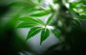 A marijuana plant is seen at Tweed Marijuana Inc in Smith's Falls