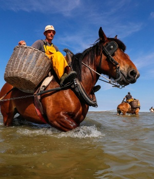 Belgian shrimp fisherman Gunther Vanbleu rides a carthorse to haul a net out in the sea to catch shrimps during low tide at the coastal town of Oostduinkerke