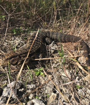 Handout photo of a black and white Tegu lizard is shown in the Florida Everglades