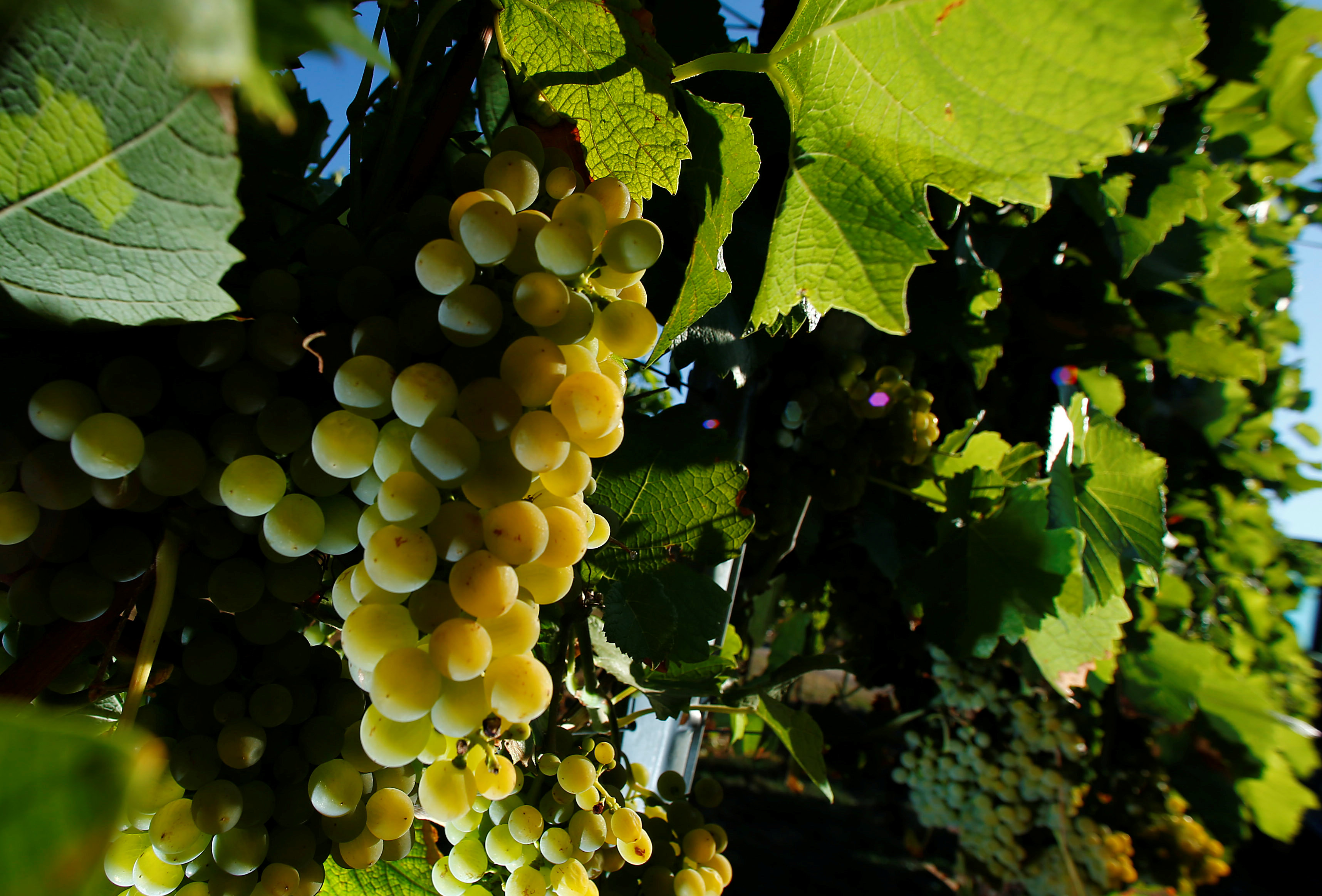 Grapes are pictured during the wine harvest at the vineyard M. R. Mathias Wolf in Loerzweiler