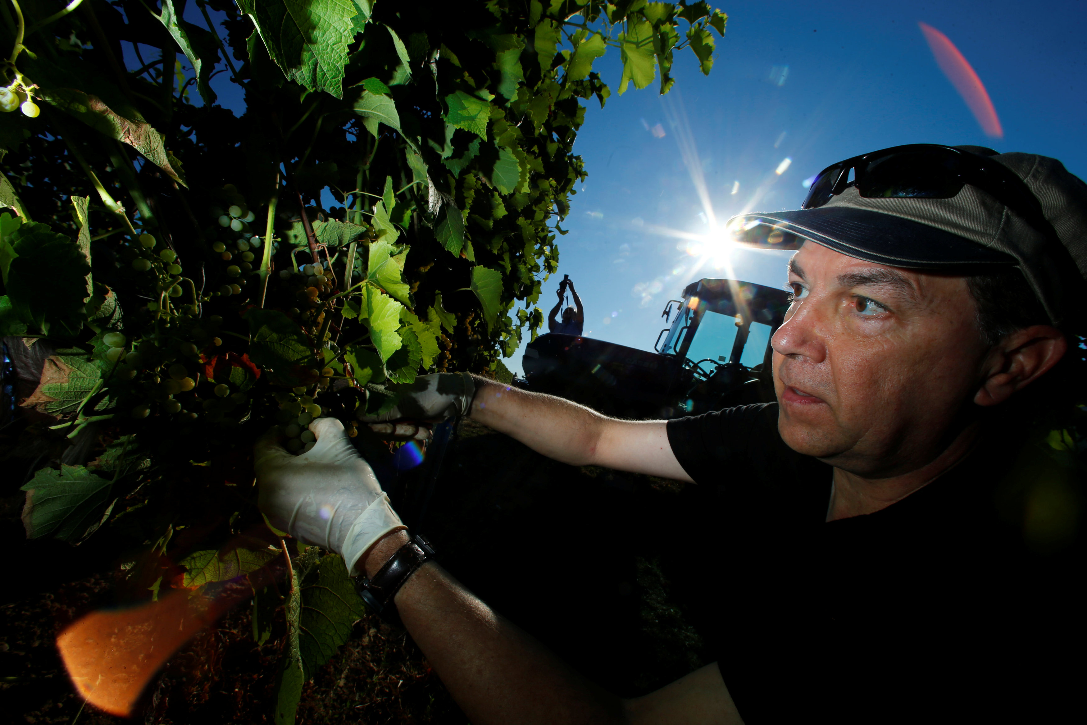 An employee of the vineyard M.R. Mathias Wolf harvests grapes in Loerzweiler