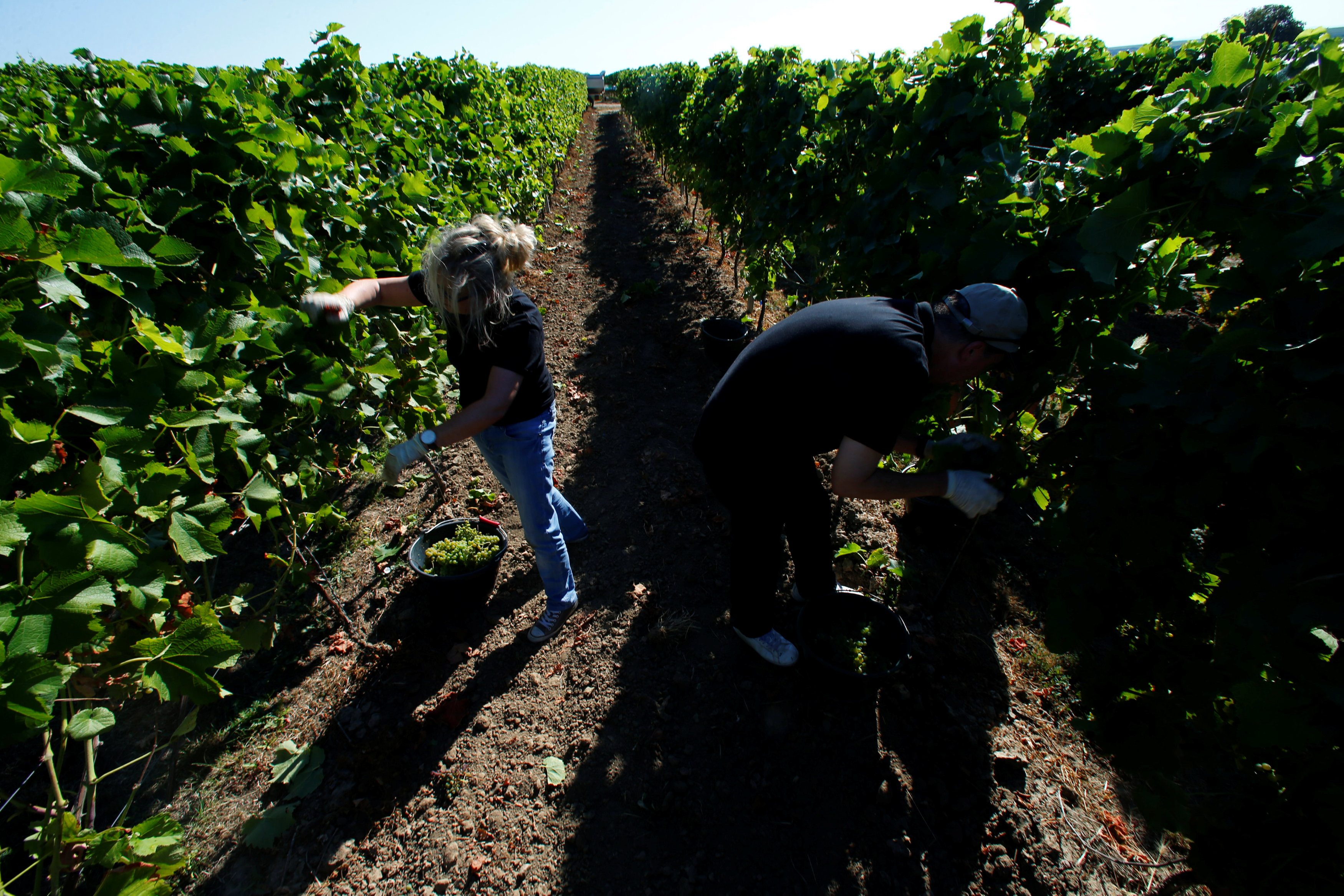 Employees of the vineyard M.R. Mathias Wolf harvest grapes in Loerzweiler