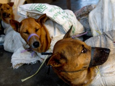 Dogs are bound in sacks before their slaughter at Bambanglipuro village in Bantul