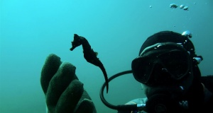 A diver observes a seahorse during a dive in the village of Stratoni near Chalkidiki