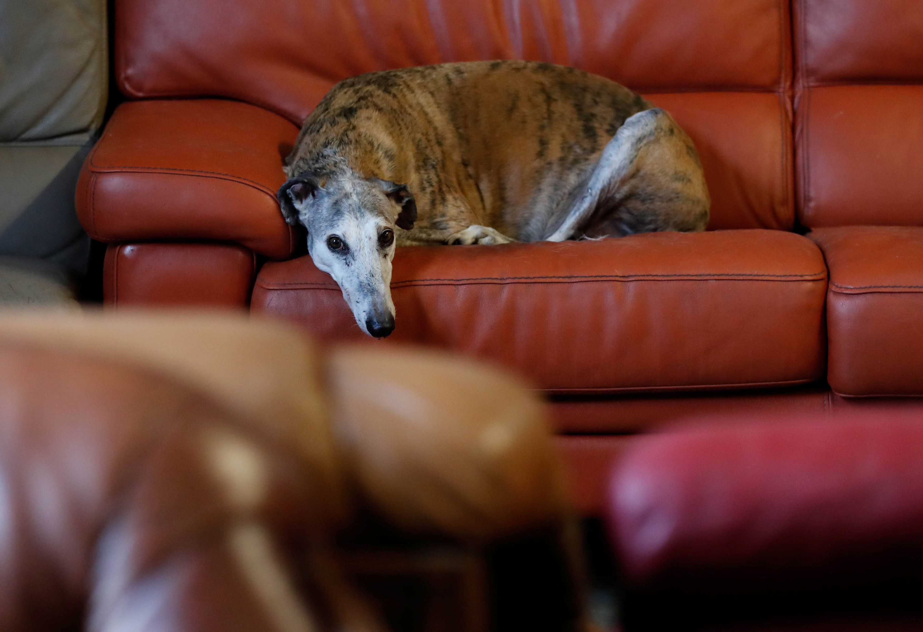 "Caracol, a ten-years old Spanish Galgo, rests on a sofa at the association ""Les Petits Vieux"", home for dozens of elderly animals, including dogs, cats, pigs and goats in Chievres"