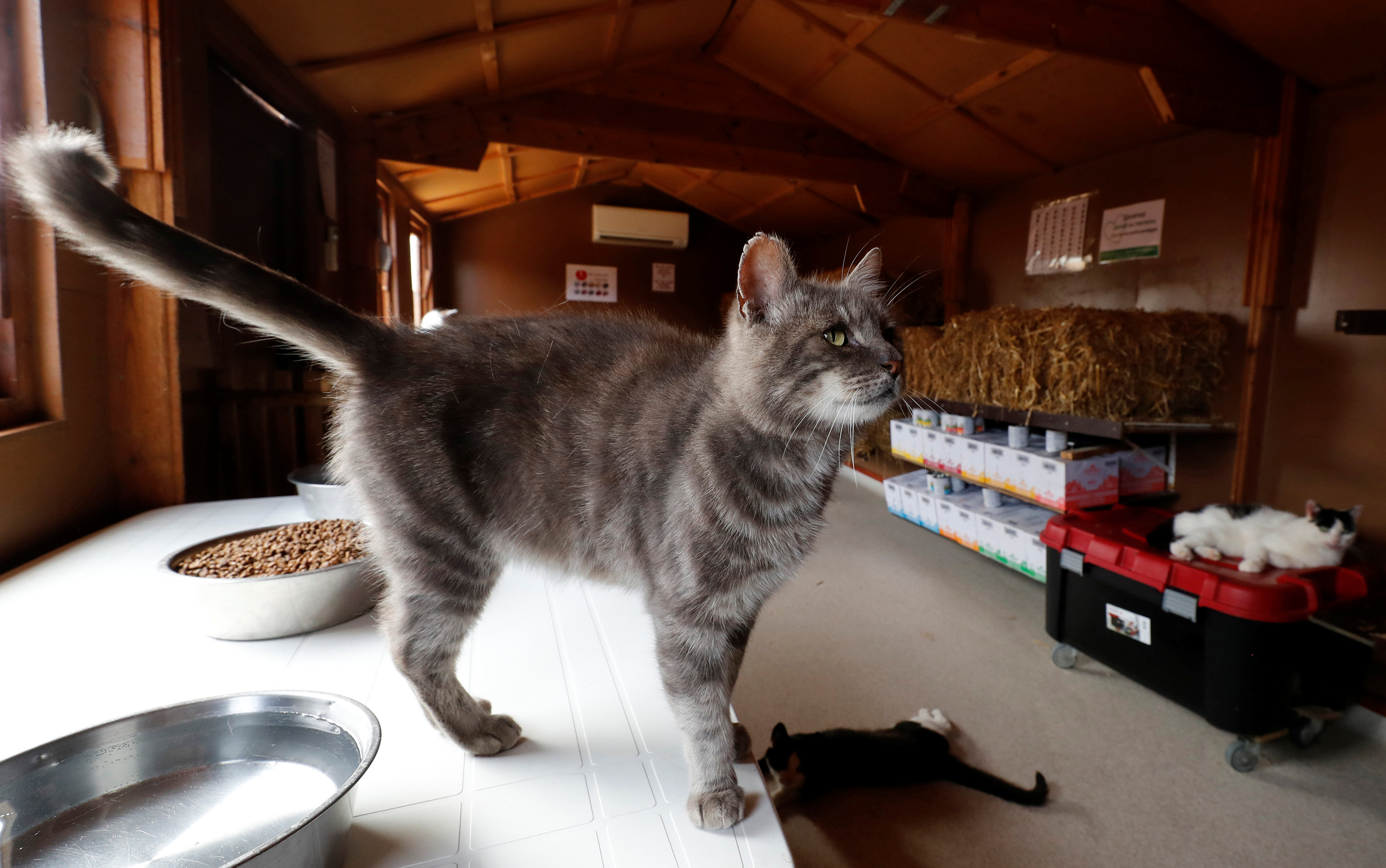 "Calin, a European cat, is seen at the association ""Les Petits Vieux"" acting as home for dozens of elderly animals, including dogs, cats, pigs and goats, in Chievres"