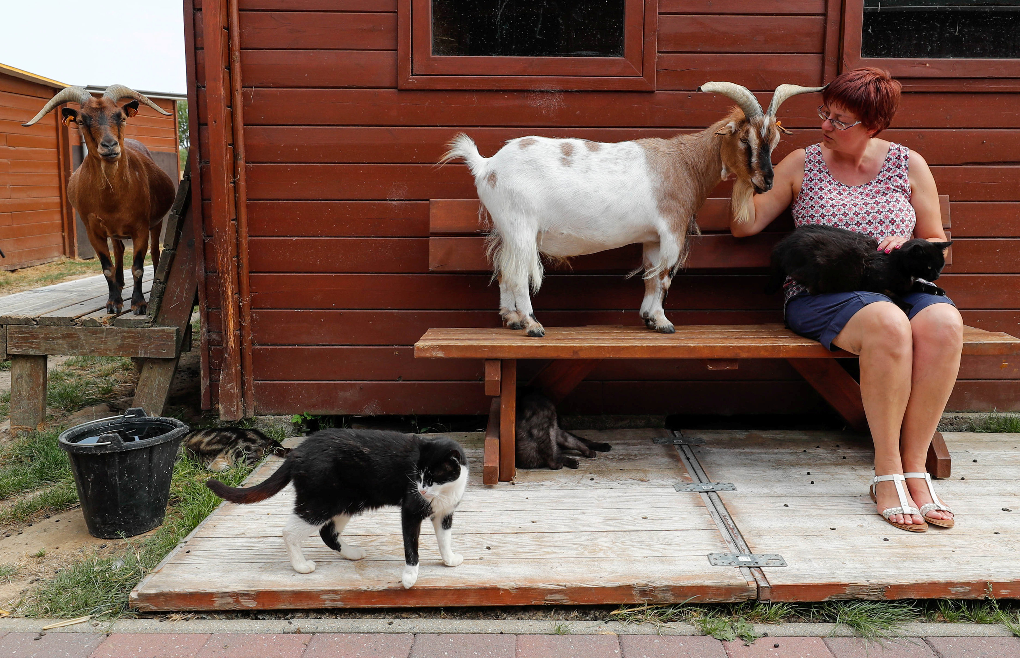 "Belgian Valerie Luycx, a founder of the association ""Les Petits Vieux"" acting as home for elderly animals sits next to Chasse, a goat, in Chievres"