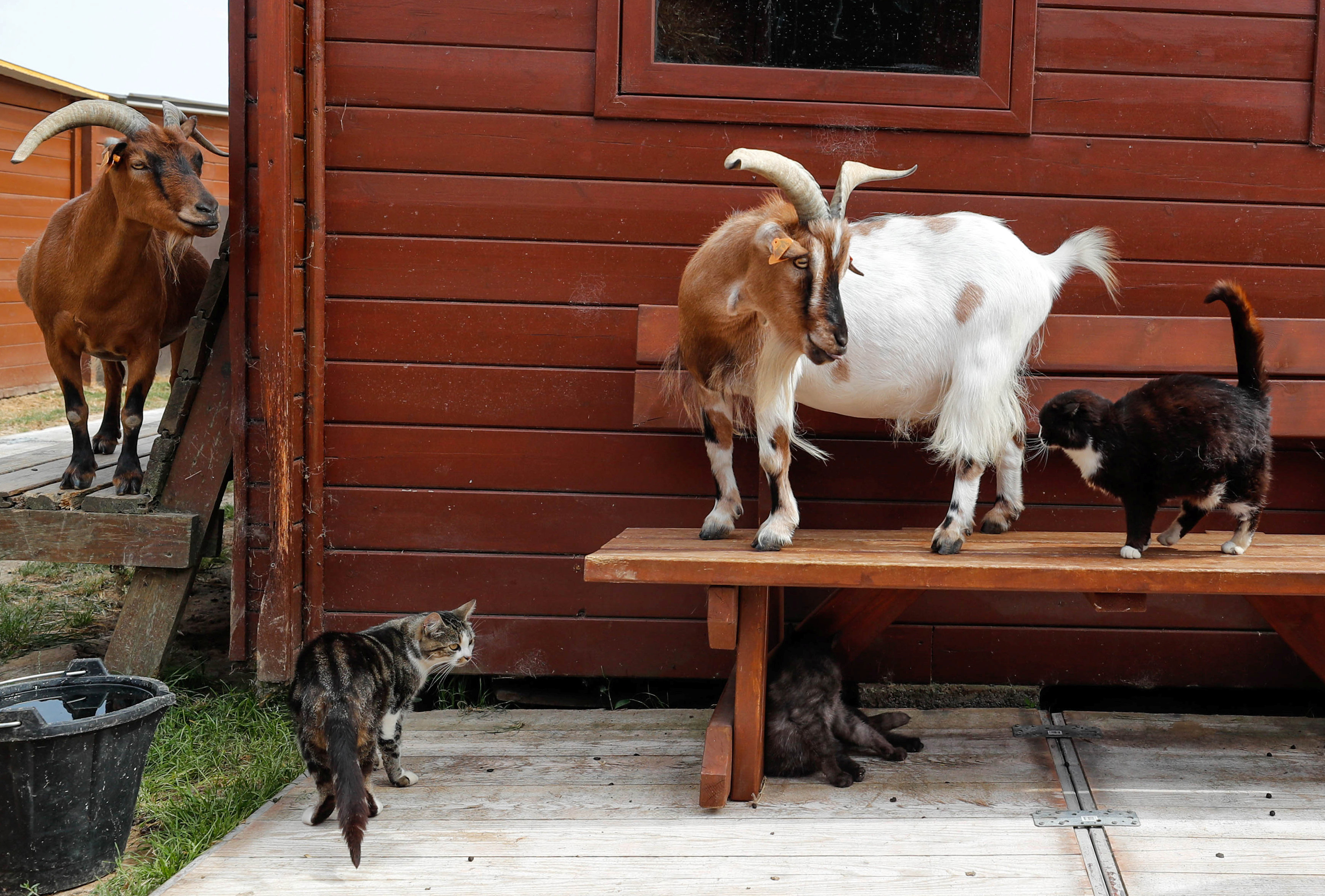"Cats and goats live together at the association ""Les Petits Vieux"" acting as home for dozens of elderly animals, in Chievres"