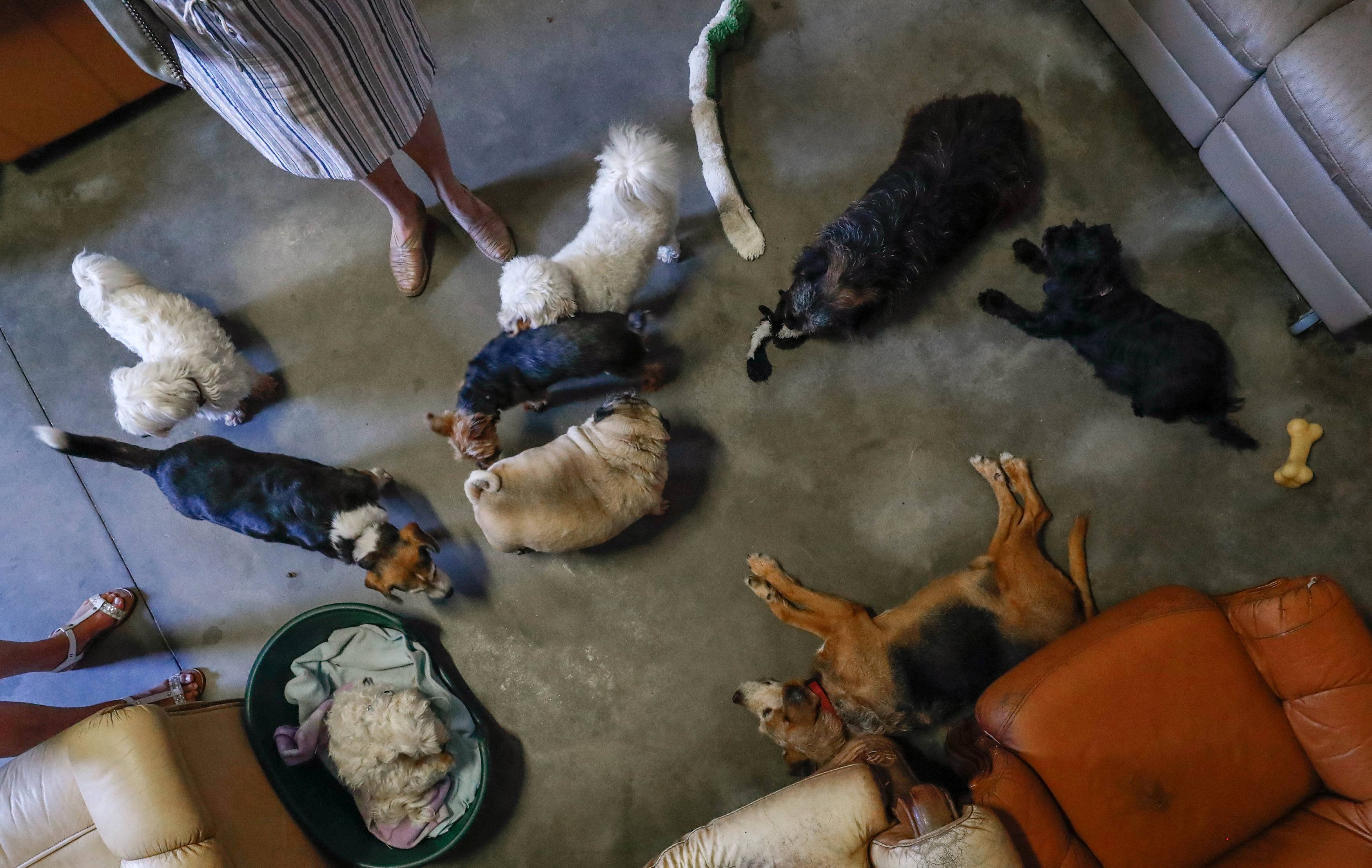 "Dogs are seen at the association ""Les Petits Vieux"" acting as home for dozens of elderly animals, in Chievres"