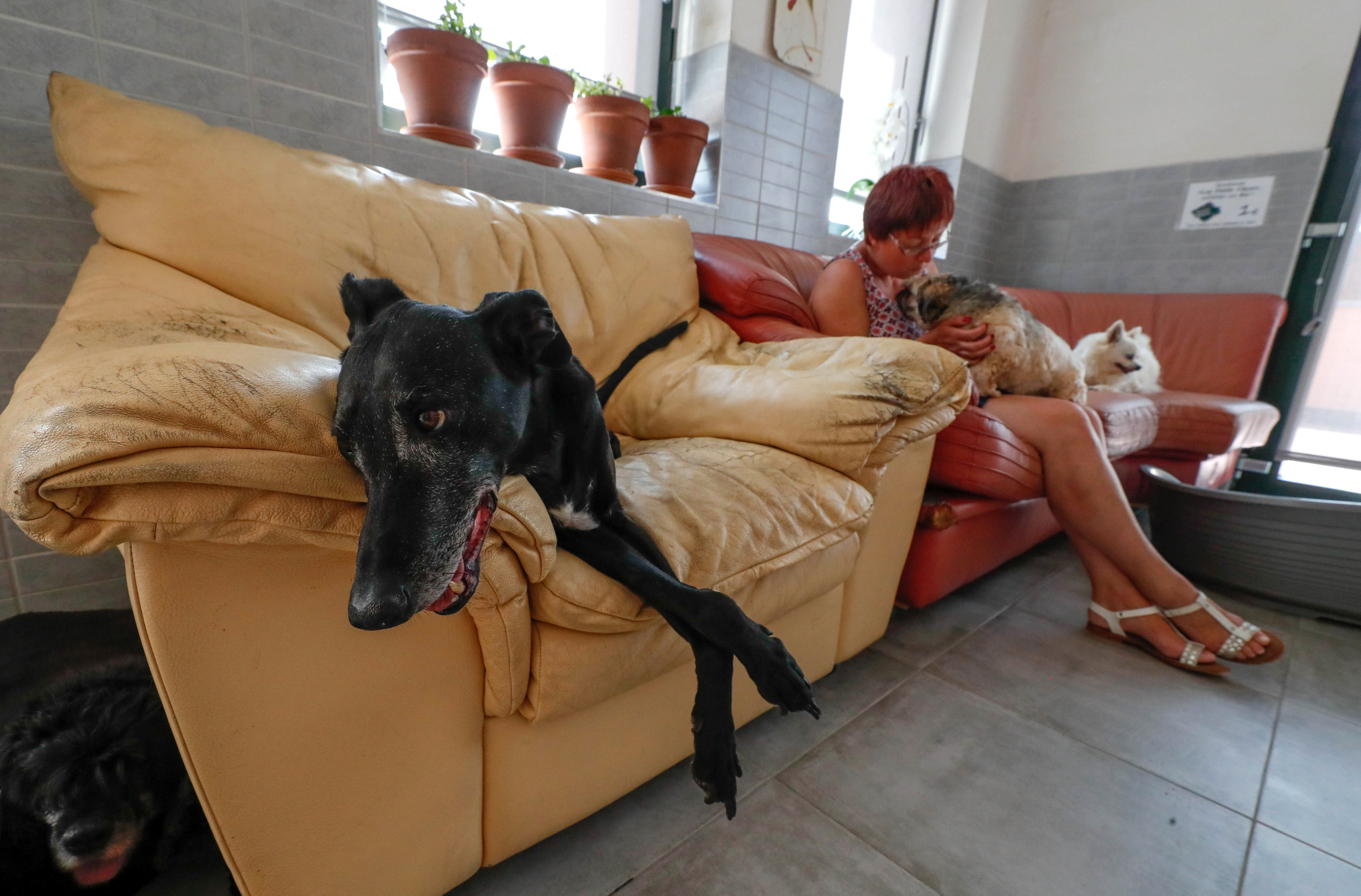 "Victor, a 15-year-old Galgo Hound, sits on a sofa next to Belgian Valerie Luycx, a founder of the association ""Les Petits Vieux"" acting as home for dozens of elderly animal in Chievres"