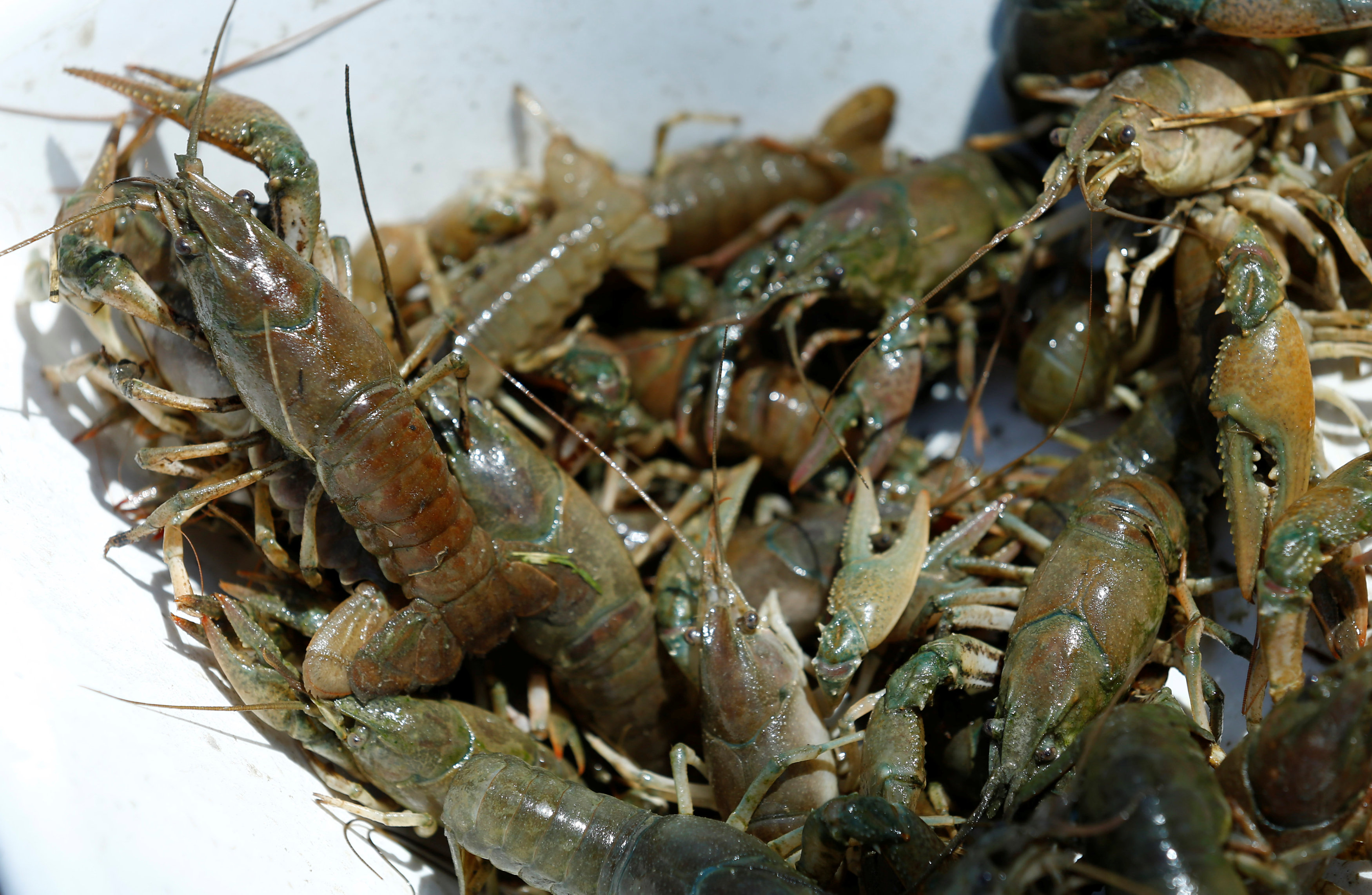Calico crayfish (Orconectes immunis) are pictured in Rheinstetten