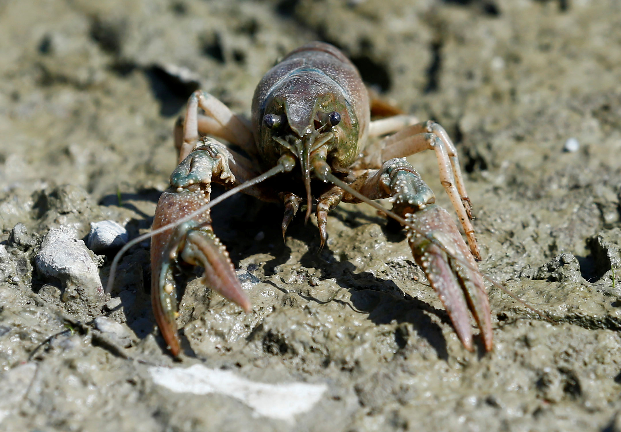 A calico crayfish (Orconectes immunis) is pictured in Rheinstetten