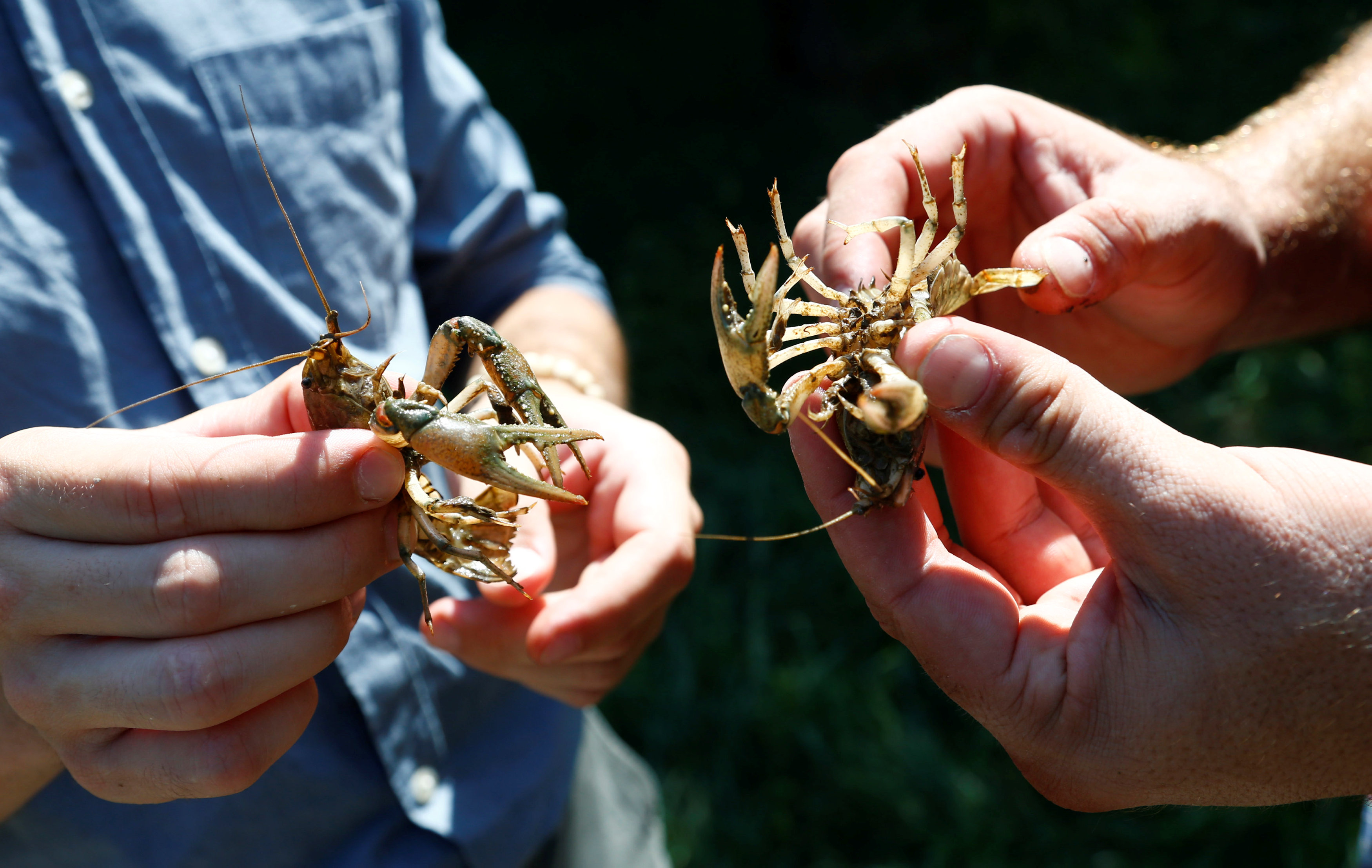 Andreas Stephan and Alexander Herrmann of the Karlsruhe University of Education hold calico crayfish (Orconectes immunis) in Rheinstetten