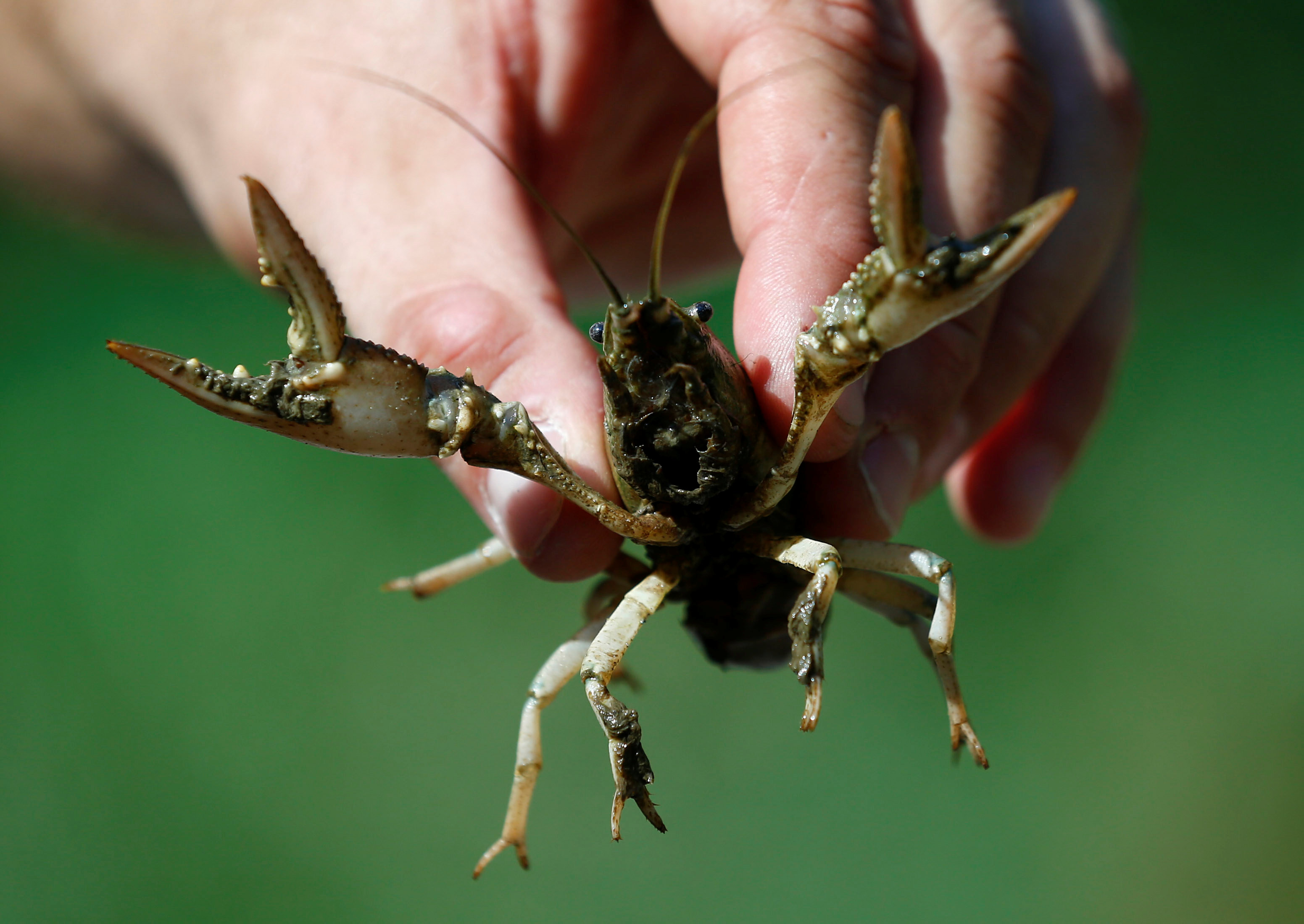 Herrmann of the Karlsruhe University of Education holds a calico crayfish (Orconectes immunis) in Rheinstetten