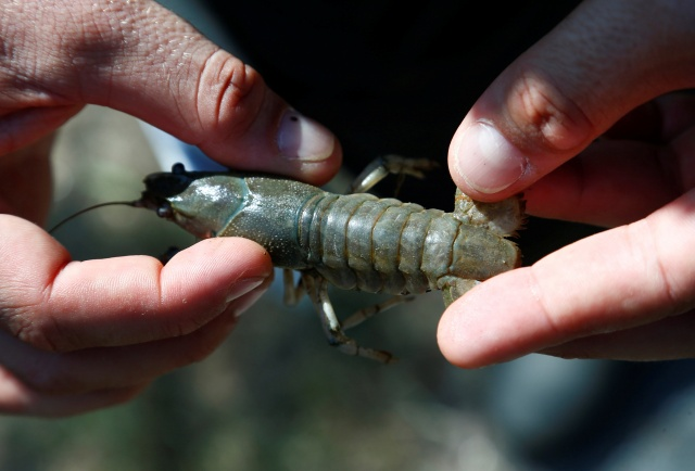 Stephan of the Karlsruhe University of Education holds a calico crayfish (Orconectes immunis) in Rheinstetten
