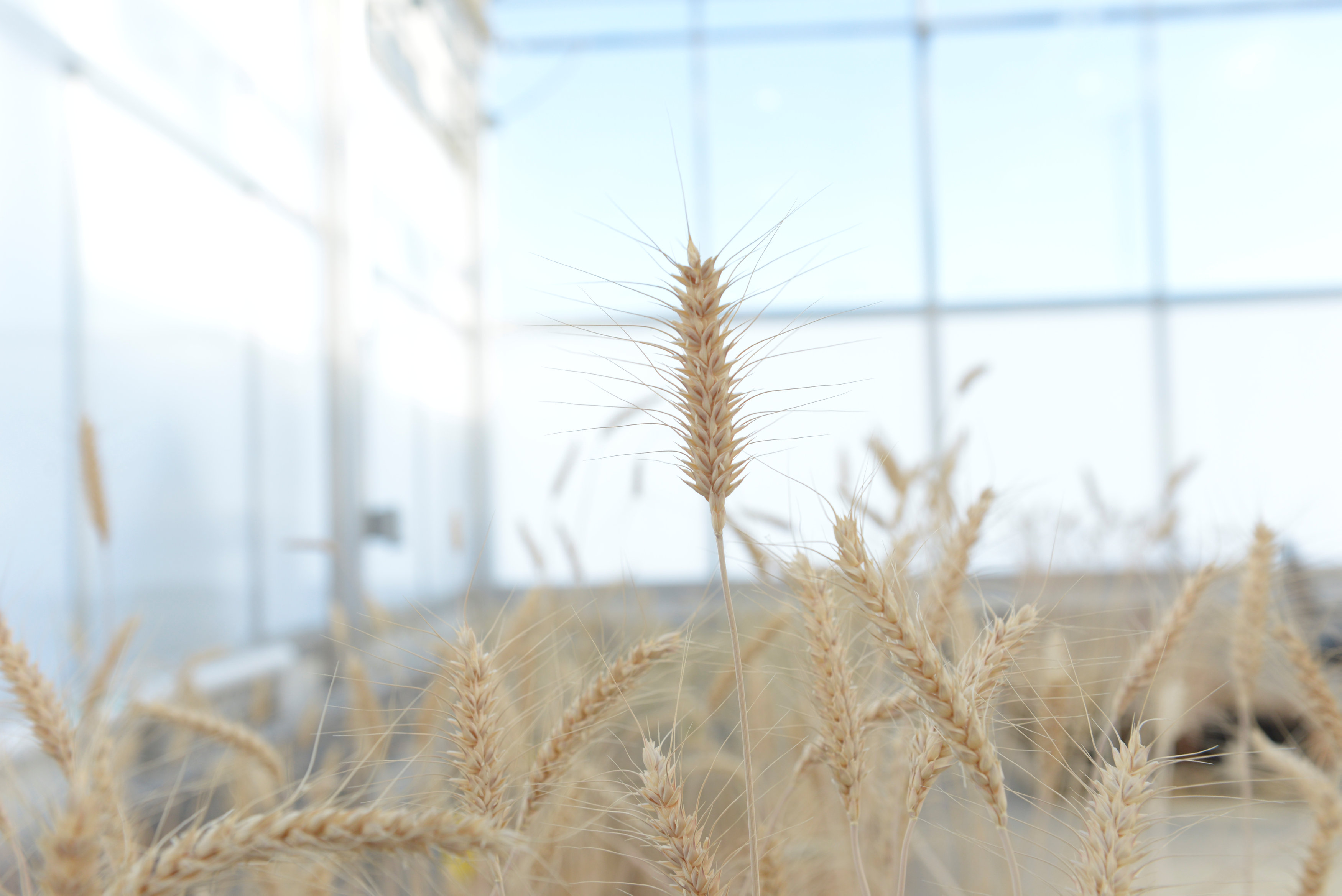 Mature high-fiber wheat plants are grown in a Calyxt greenhouse in New Brighton