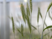 High-fiber wheat plants grow in a Calyxt greenhouse in New Brighton