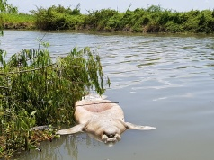 The lifeless body of a West Indian manatee, also known as sea cow, floats in the San Miguel river, in Jonuta