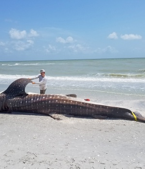 Handout photo of a dead whale shark being examined after being washed up along the shore of Sanibel Island