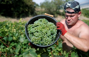 Grape pickers harvest fruit from the vines at the Philippe Gonet vineyard during the traditional Champagne wine harvest in Montgueux